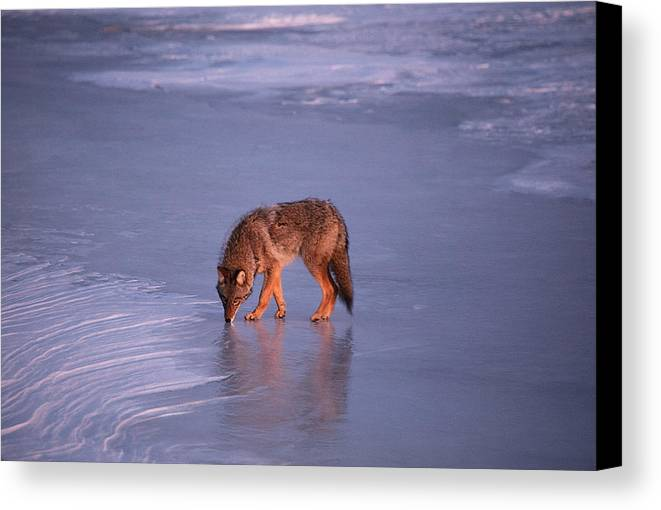 Thunder Bay Ontario Canada Lake Superior Winter Frozen Ice Snow Coyote Wildlife Canvas Print featuring the photograph Lone Coyote On The Shore Of Lake Superior by Chris Artist