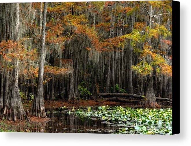 Landscape Canvas Print featuring the photograph Magical Cypress Trees Forest by Iris Greenwell