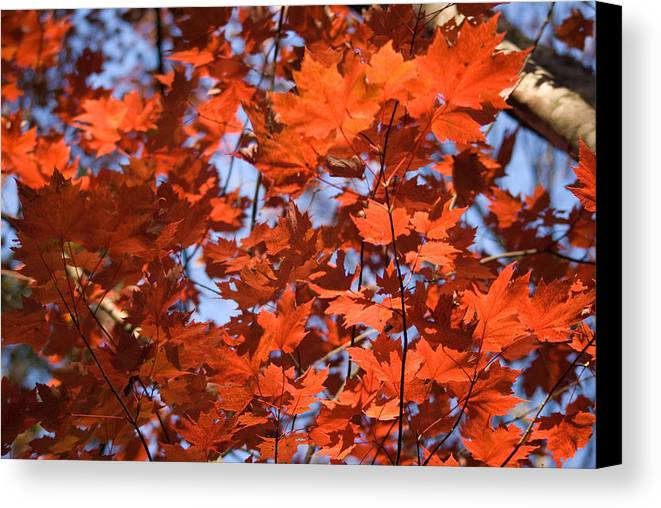 Maple Canvas Print featuring the photograph Maple Leaves Aglow by Douglas Barnett