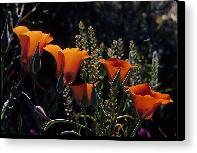 Arizona Desert Photography Canvas Print featuring the photograph Mariposa Lily by John Gee