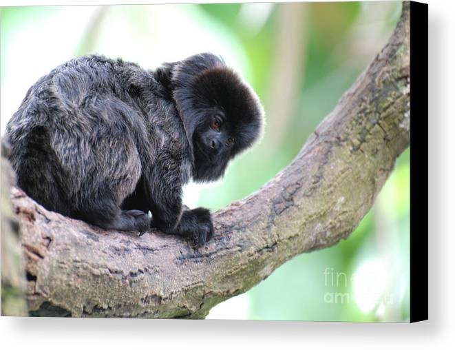 Goeldi Canvas Print featuring the photograph Marmoset Sitting Perched In A Tree by DejaVu Designs