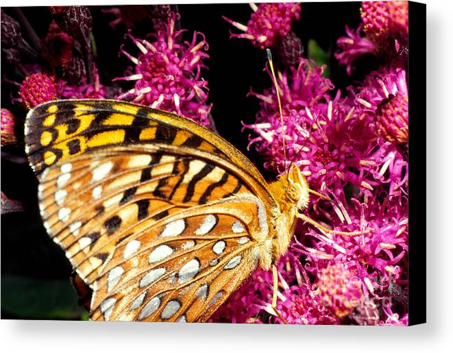 Meadow Fritillary Canvas Print featuring the photograph Meadow Fritillary by Thomas R Fletcher