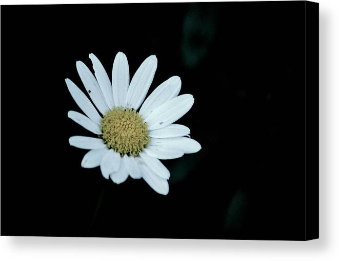 Flower Canvas Print featuring the photograph Miss Daisy by Trudi Southerland