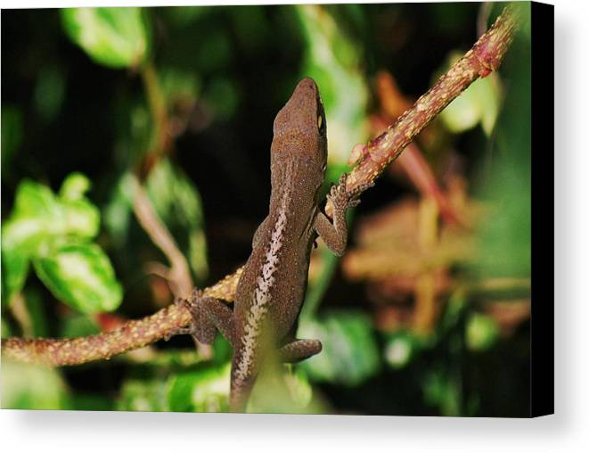 Anole Canvas Print featuring the photograph Monkey Liz by Trudi Southerland