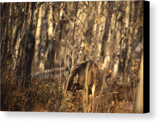 Mule Deer Canvas Print featuring the photograph Mule Deer In Aspen Thicket by Soli Deo Gloria Wilderness And Wildlife Photography