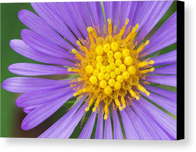 New England Aster Canvas Print featuring the photograph New England Aster by Jim Zablotny