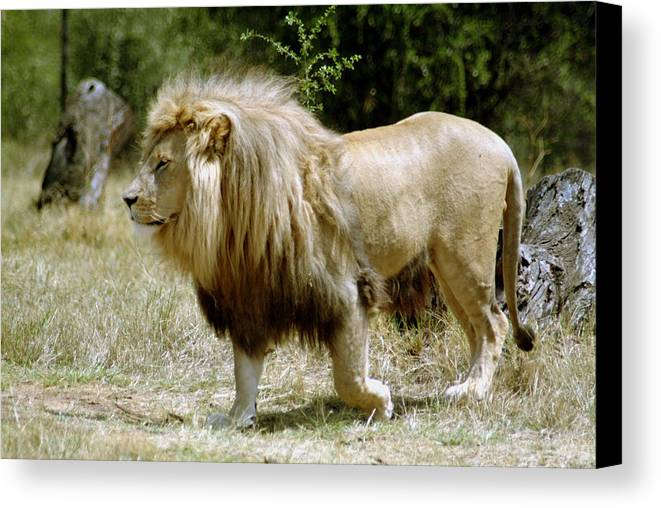 Lion Canvas Print featuring the photograph Papa Lion On The Prowl by Charles Ridgway