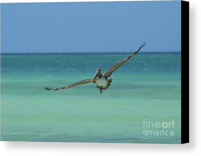 Pelican Canvas Print featuring the photograph Pelican Flying In The Carribean Waters Off Aruba by DejaVu Designs