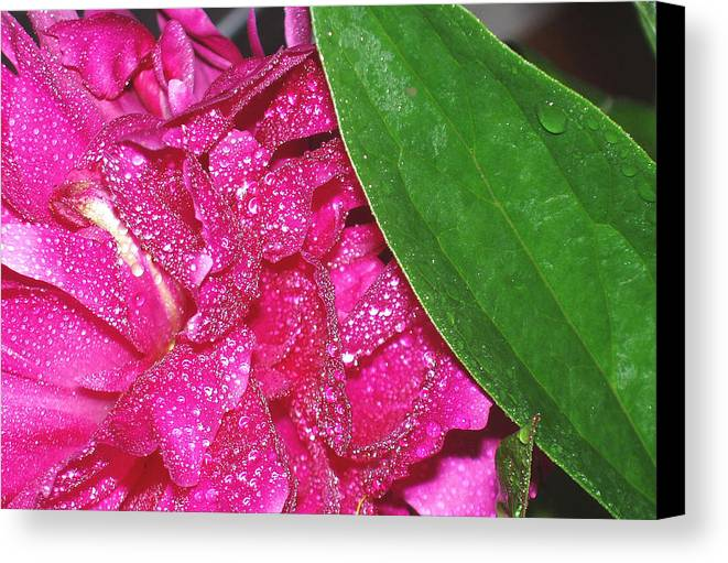 Peony Canvas Print featuring the photograph Peony And Leaf by Nancy Mueller