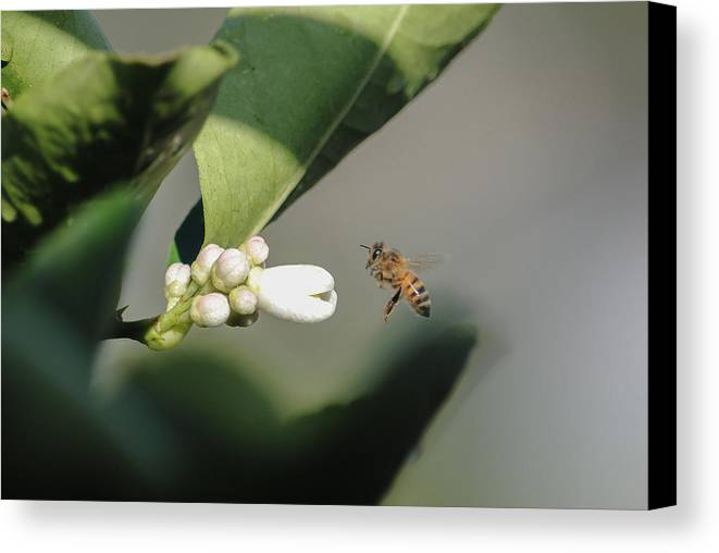Pollination Canvas Print featuring the photograph Pollination by Megan Martens
