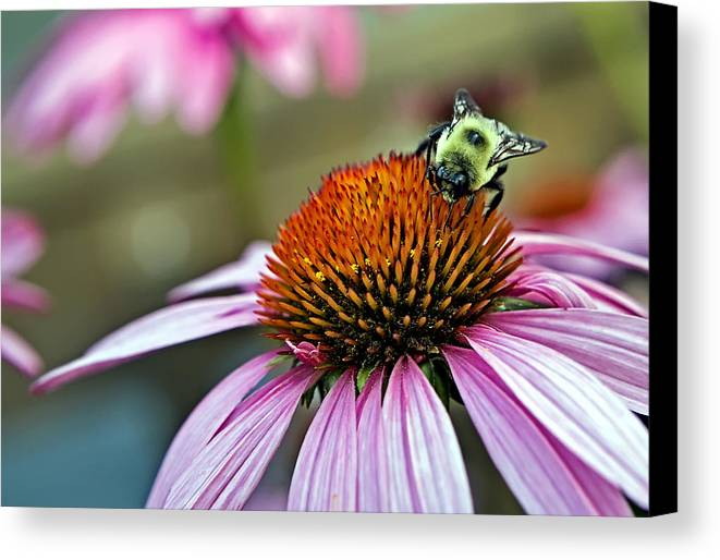 Macro Canvas Print featuring the photograph Purple Cone Flower And Bee by Al Mueller