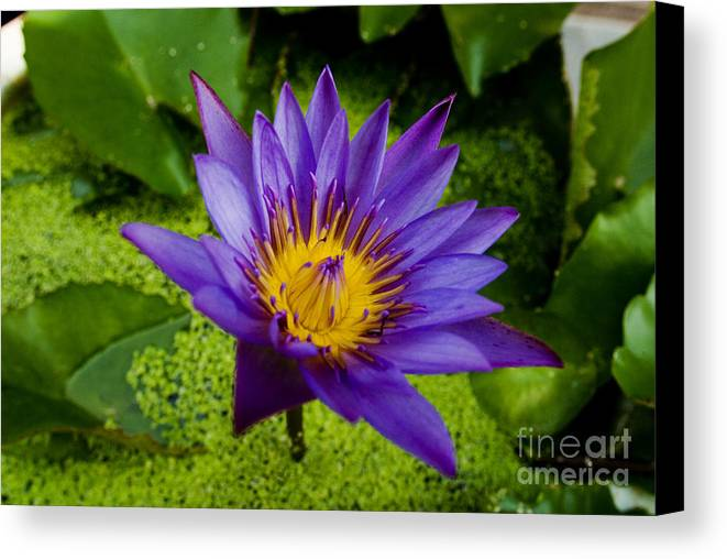 Abstract Canvas Print featuring the photograph Purple Water Lily by Ray Laskowitz - Printscapes