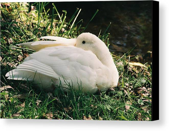 Mallard Canvas Print featuring the photograph Quaint Mallard by Cheryl Martin