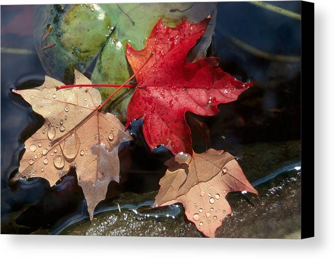 Fall Canvas Print featuring the photograph Rain Drops On Leaves by Raju Alagawadi