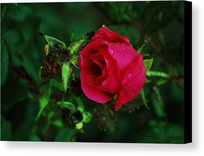 Rose Canvas Print featuring the photograph Rain Kisses by Trudi Southerland