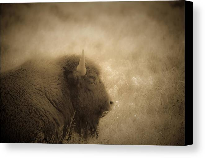 Bison Canvas Print featuring the photograph Resting Buffalo by Patrick Flynn