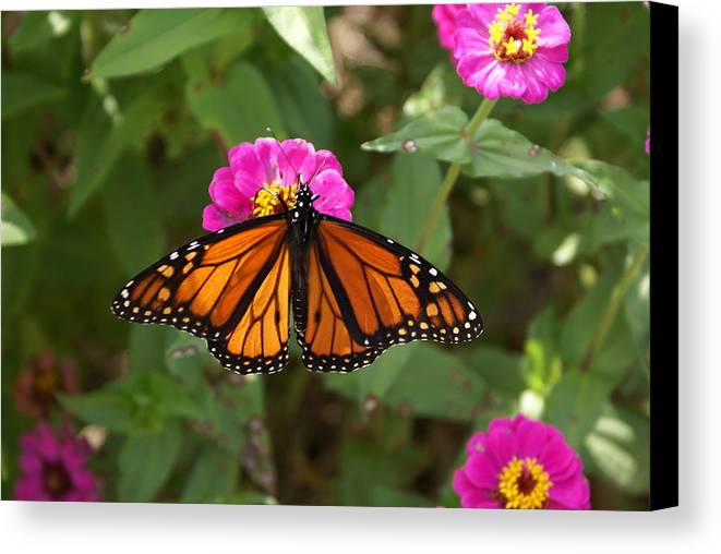 Butterfly Canvas Print featuring the painting Resting by Debbie May