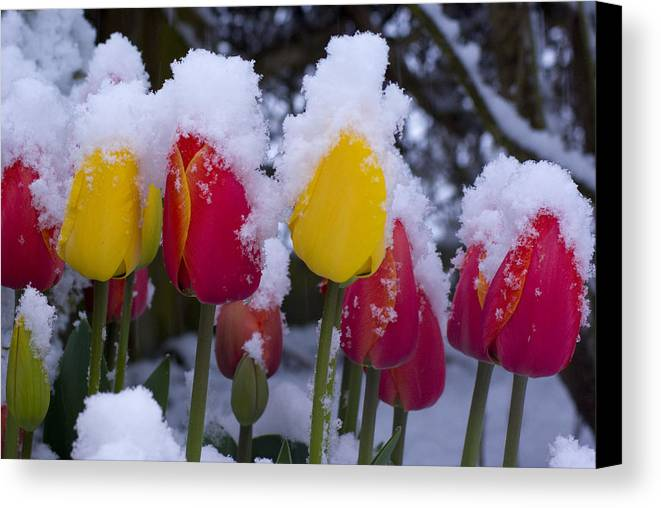 Tulips Canvas Print featuring the photograph Snowy Tulips by Louise Magno