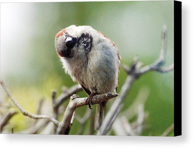 Bird Canvas Print featuring the photograph Sparrow Tilts It Head by Steve Somerville