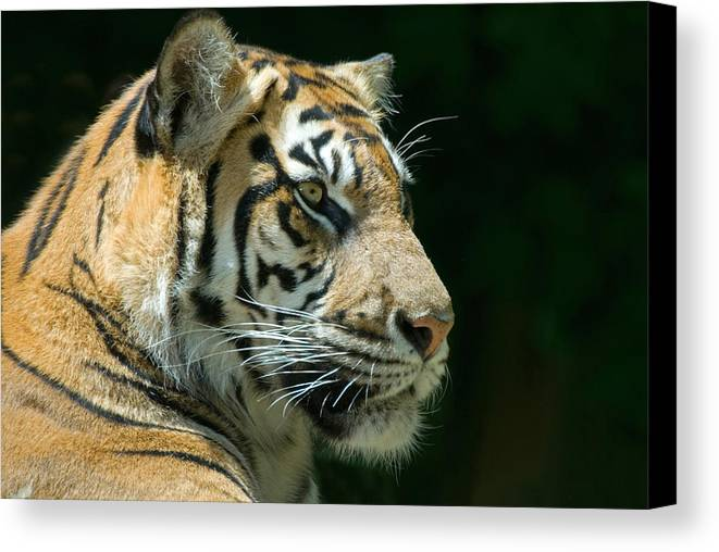 Animal Canvas Print featuring the photograph Sumatran Tiger by Mary Lane