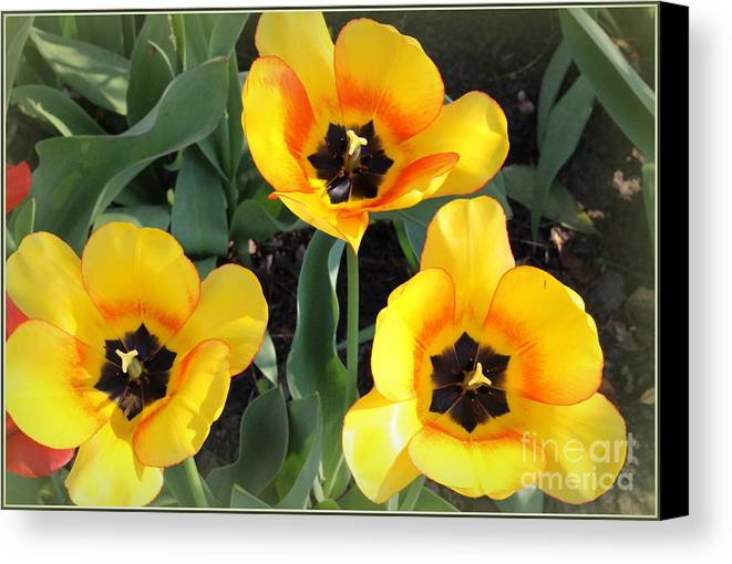 Tulips Canvas Print featuring the photograph Tulips Kissed By The Sun by Dora Sofia Caputo Photographic Design and Fine Art