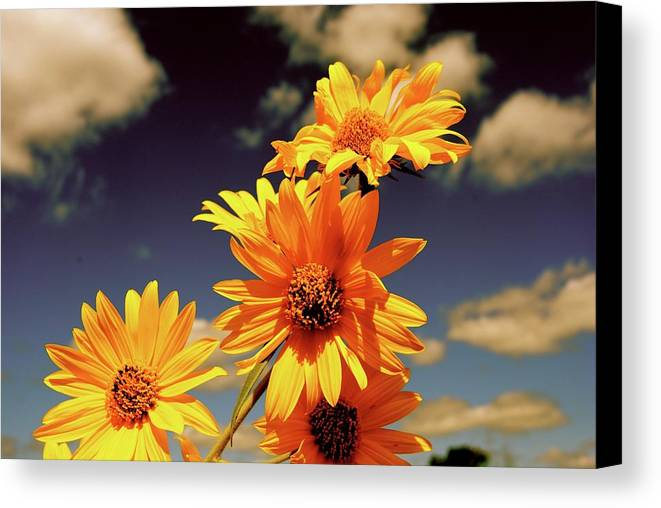 Sunflowers Canvas Print featuring the photograph Sunflower Skies by Taylor McClish