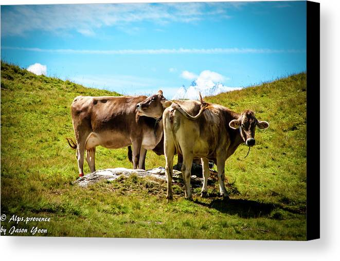 Photography Canvas Print featuring the photograph Happy Swiss Cows by Jason Yoon