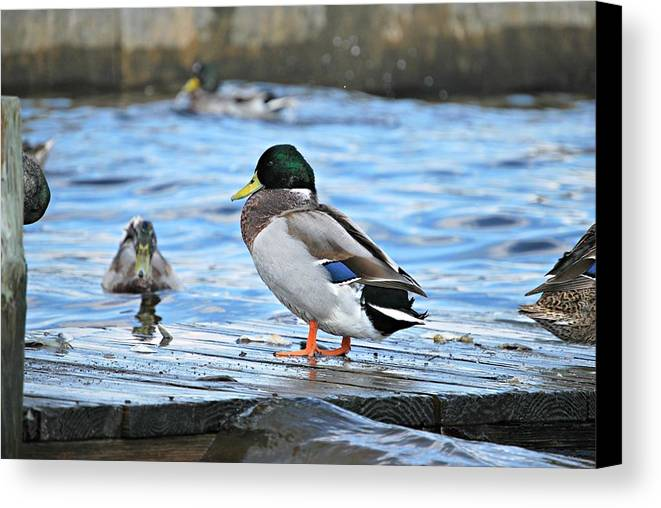 Mallard Duck Canvas Print featuring the photograph Taking A Break by Barbara Woodson