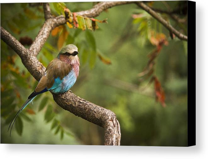 Bird Canvas Print featuring the photograph The Conspicuous Roller by Chad Davis