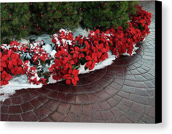 Poinsettia Canvas Print featuring the photograph The Path To Christmas - Poinsettias, Trees, Snow, And Walkway by Mitch Spence