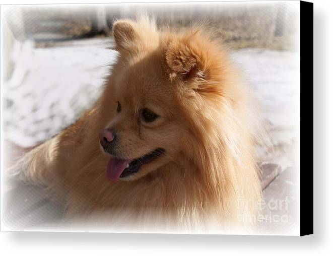 Pomeranian Dog Canvas Print featuring the photograph The Sun On My Back by Joanne Smoley