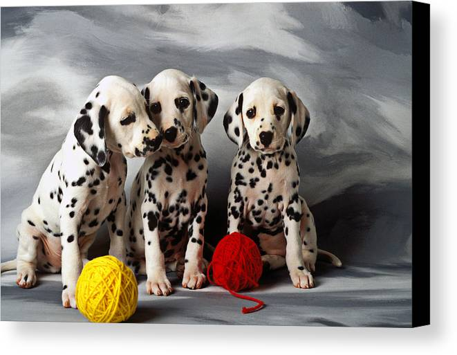 Dalmatian Puppies Three Puppy Dalmatians Pet Pets Animal Animals Dog Dogs Doggy Sit Sits Sitting Young Pedigree Canine Domestic Domesticated Purebred Purebreed Breed Gray Background Vertical Color Colour Colors Canines Calm Cute Hound Hounds Innocence Spot Spots Companionship Together Togetherness Canvas Print featuring the photograph Three Dalmatian Puppies by Garry Gay