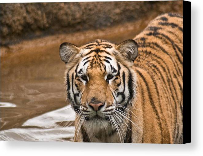 Tiger Canvas Print featuring the photograph Tiger Wading Stream by Douglas Barnett