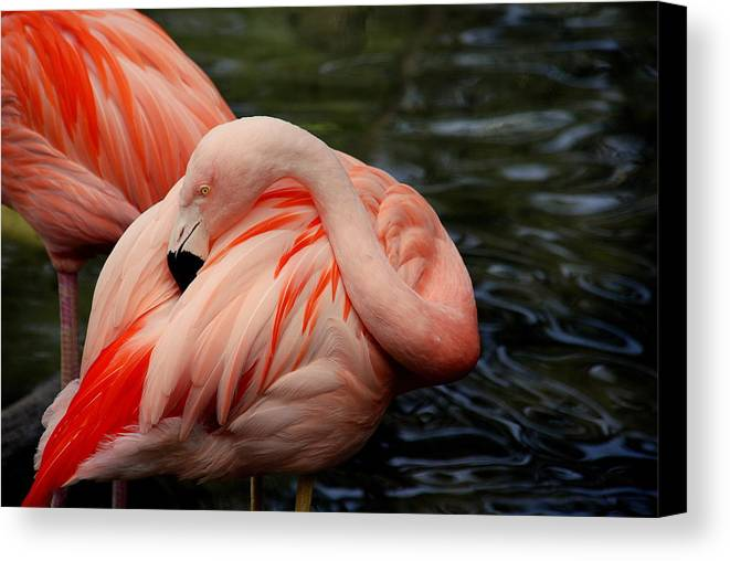 Flamingo Canvas Print featuring the photograph Vanity by Susanne Van Hulst