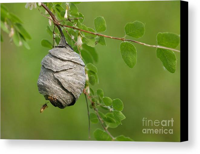 Wasp Canvas Print featuring the photograph Wasp by Dennis Hammer