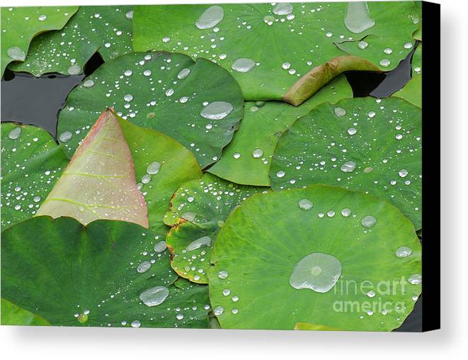 Water Lilies Canvas Print featuring the photograph Waterdrops On Lotus Leaves by Silke Magino