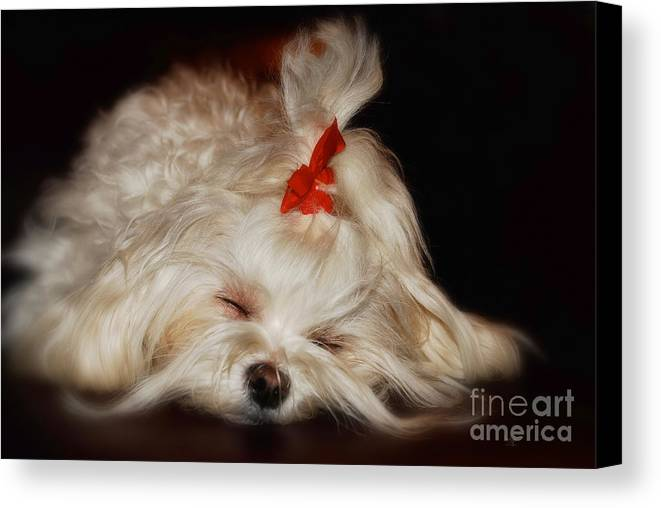Maltese Canvas Print featuring the photograph While Sugarplums Danced by Lois Bryan