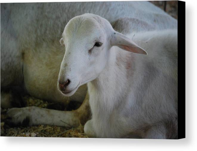 Sheep Canvas Print featuring the photograph White Wool by Lakida Mcnair