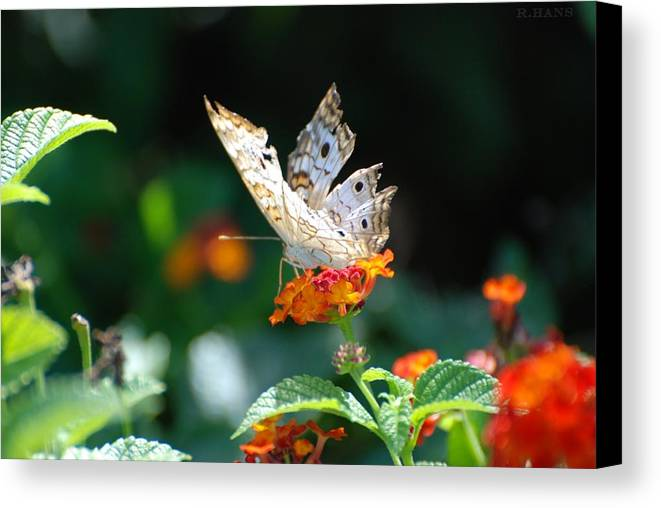 Butterfly Canvas Print featuring the photograph Winged Butter by Rob Hans
