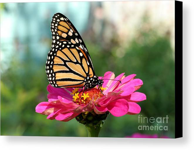 Monarch Butterfly Canvas Print featuring the photograph Zinnia With The Monarch by Steve Augustin