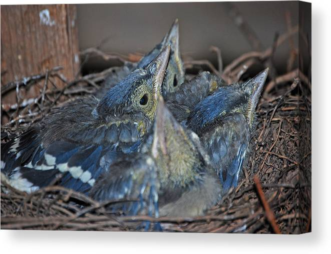 Bluejay Chicks Canvas Print featuring the photograph Bluejay Chicks by Jaron Wood