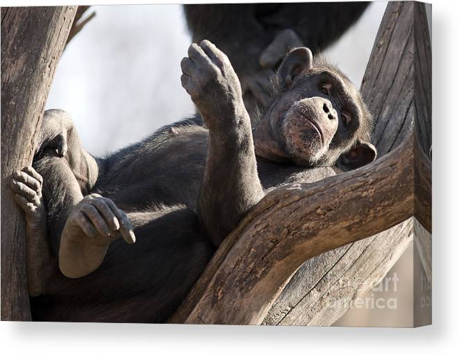 Chimpanzee Canvas Print featuring the photograph Chimpanzee by Brandon Alms