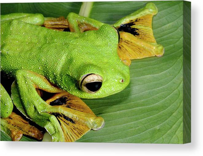 Rhacophorus Nigropalmatus Canvas Print featuring the photograph Wallace's Flying Frog by Sinclair Stammers/science Photo Library