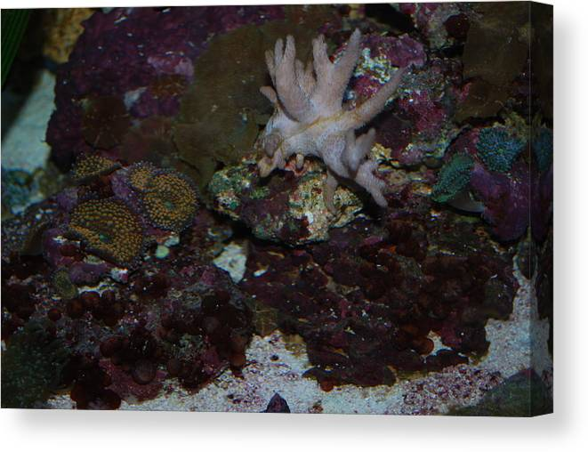 Taken Through Side Of Aquarium Canvas Print featuring the photograph Tropical Coral by Robert Floyd