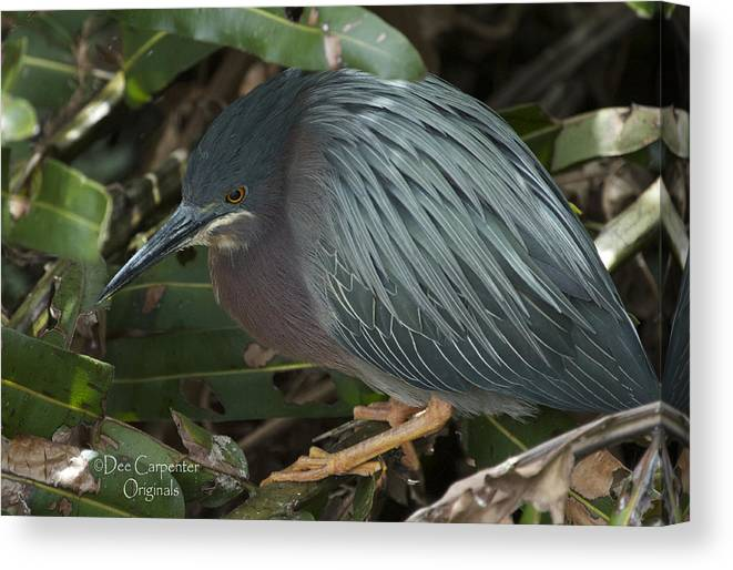 Green Canvas Print featuring the photograph Green Heron by Dee Carpenter