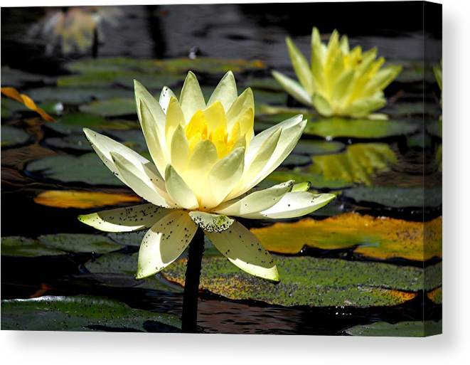 Flowers Canvas Print featuring the photograph Water-lily by Bill Brown