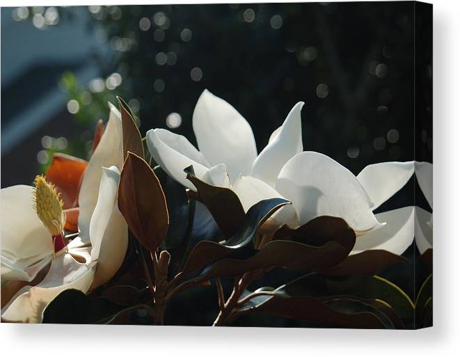 Magnolia Canvas Print featuring the photograph A Sea Of Magnolias by Suzanne Gaff