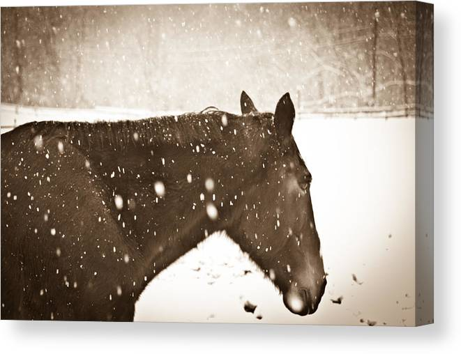 Horse Canvas Print featuring the photograph Bailys In Cream by Nickaleen Neff