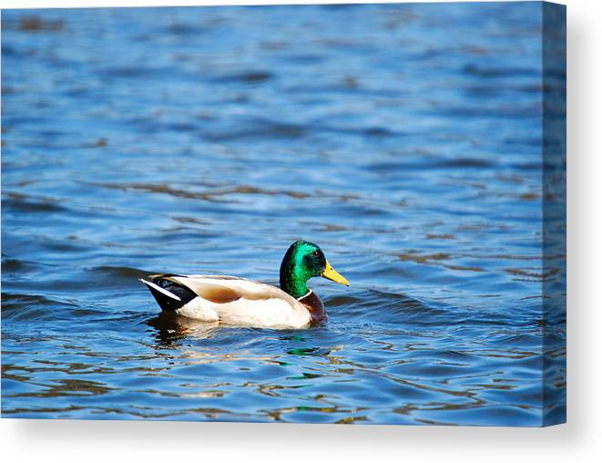 Male Canvas Print featuring the photograph Beautiful Male Mallard by Crystal Wightman
