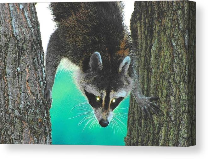 Raccoon Canvas Print featuring the photograph Birdseed Bandit by Amy Porter